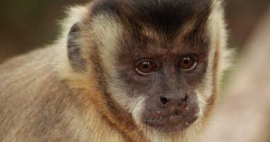 Fiocrus abre 60 vagas em curso gratuito online sobre primatas não humanos
